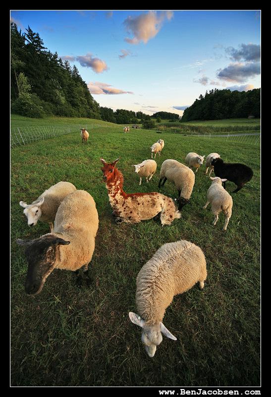 IMAGE: http://www.benjacobsen.com/wp-content/gallery/sheep2/IMG_1905.jpg