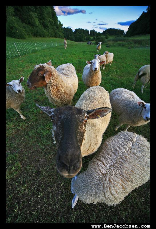 IMAGE: http://www.benjacobsen.com/wp-content/gallery/sheep2/IMG_1915.jpg
