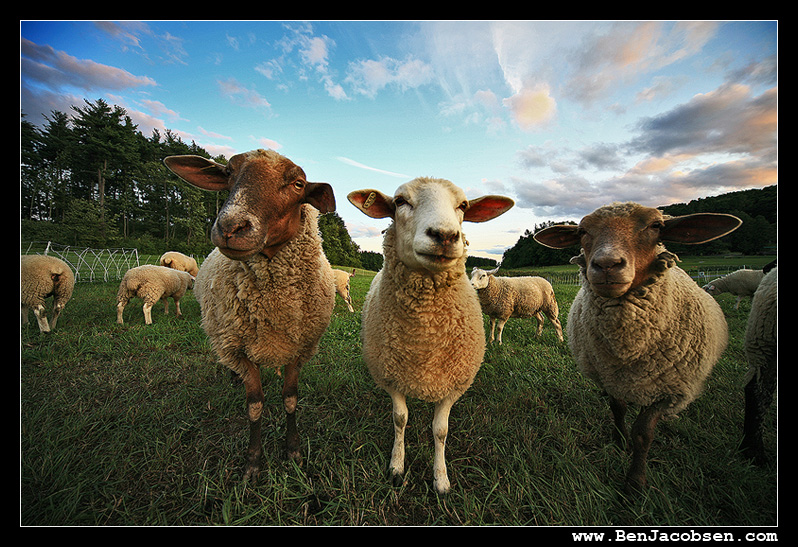IMAGE: http://www.benjacobsen.com/wp-content/gallery/sheep2/IMG_1937.jpg